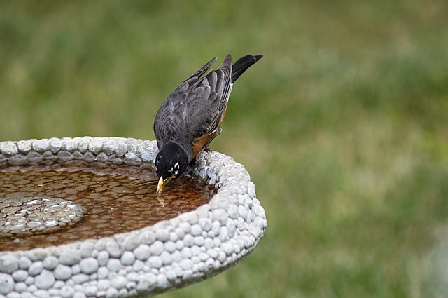 Mr Robin Gets a Drink