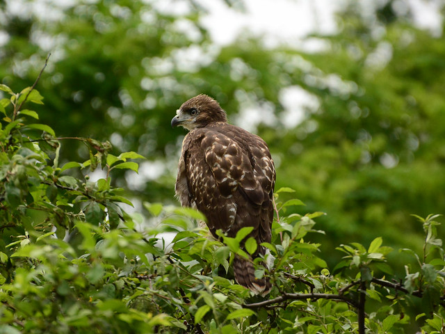 GT Red-Tail Fledgling - 4962