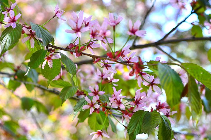 kirsikkapuisto