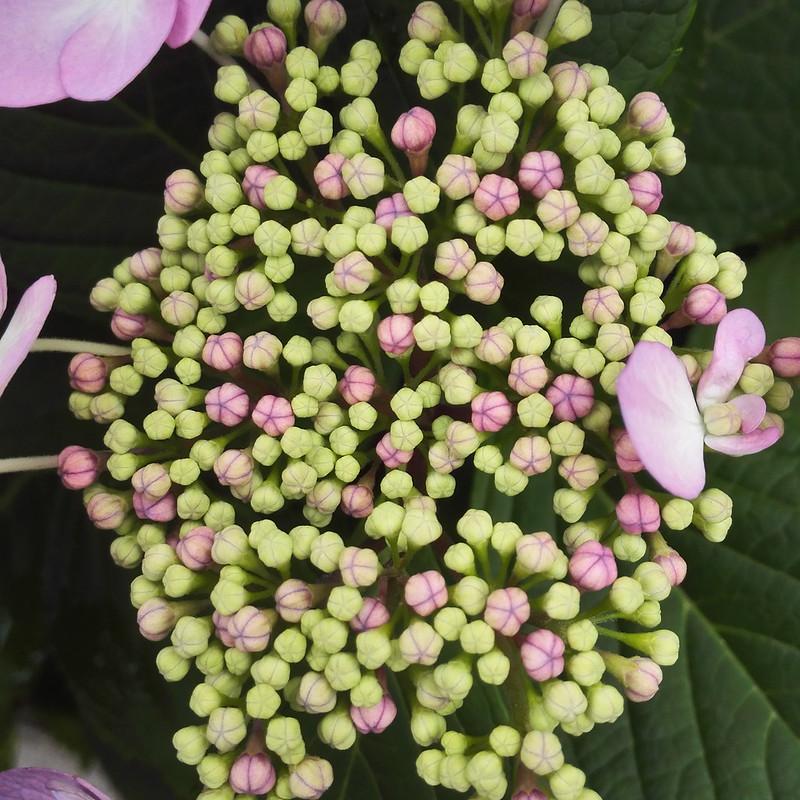 紫陽花の蕾