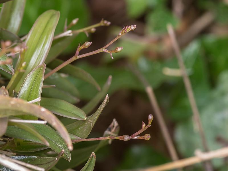Epidendrum magnoliae flower spikes