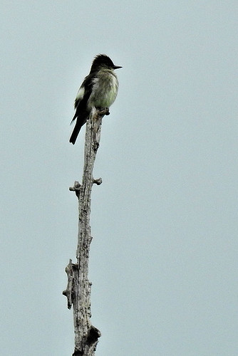 Doodletown: Olive-sided Flycatcher