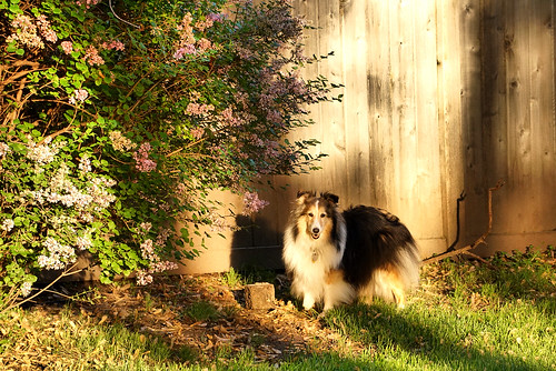 Miss Maggie at that golden hour of the day
