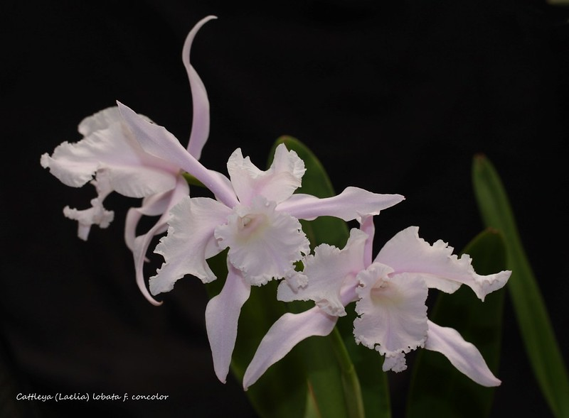 Cattleya (Laelia) lobata f. concolor 34045457014_6797059d44_c