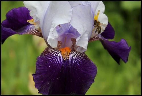 Iris 'Clair Obscur' - J-C. Jacob 2010 34194222663_2d9e05c089