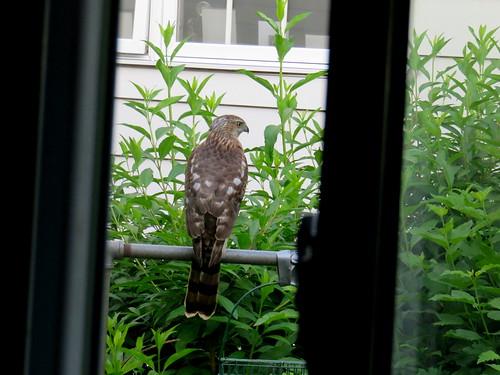 hawk by our bird feeder