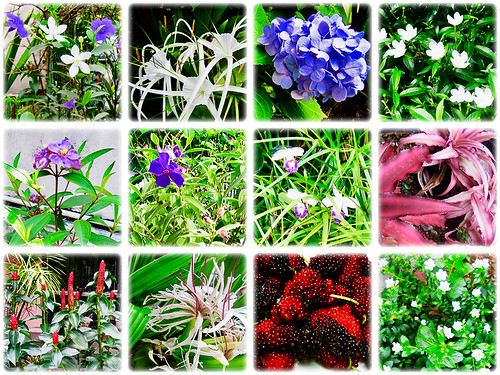 Some of the colourful flowers at our frontyard during the months from April to June