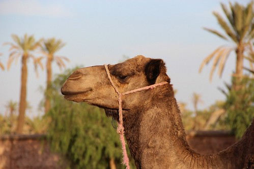 Ride Camels in Marrakech. From Intriguing Destinations to See Animals in Their Natural Habitats