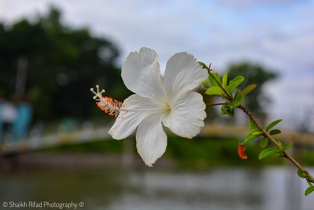 Habiscusflower photos on flickr flickr ccuart Gallery