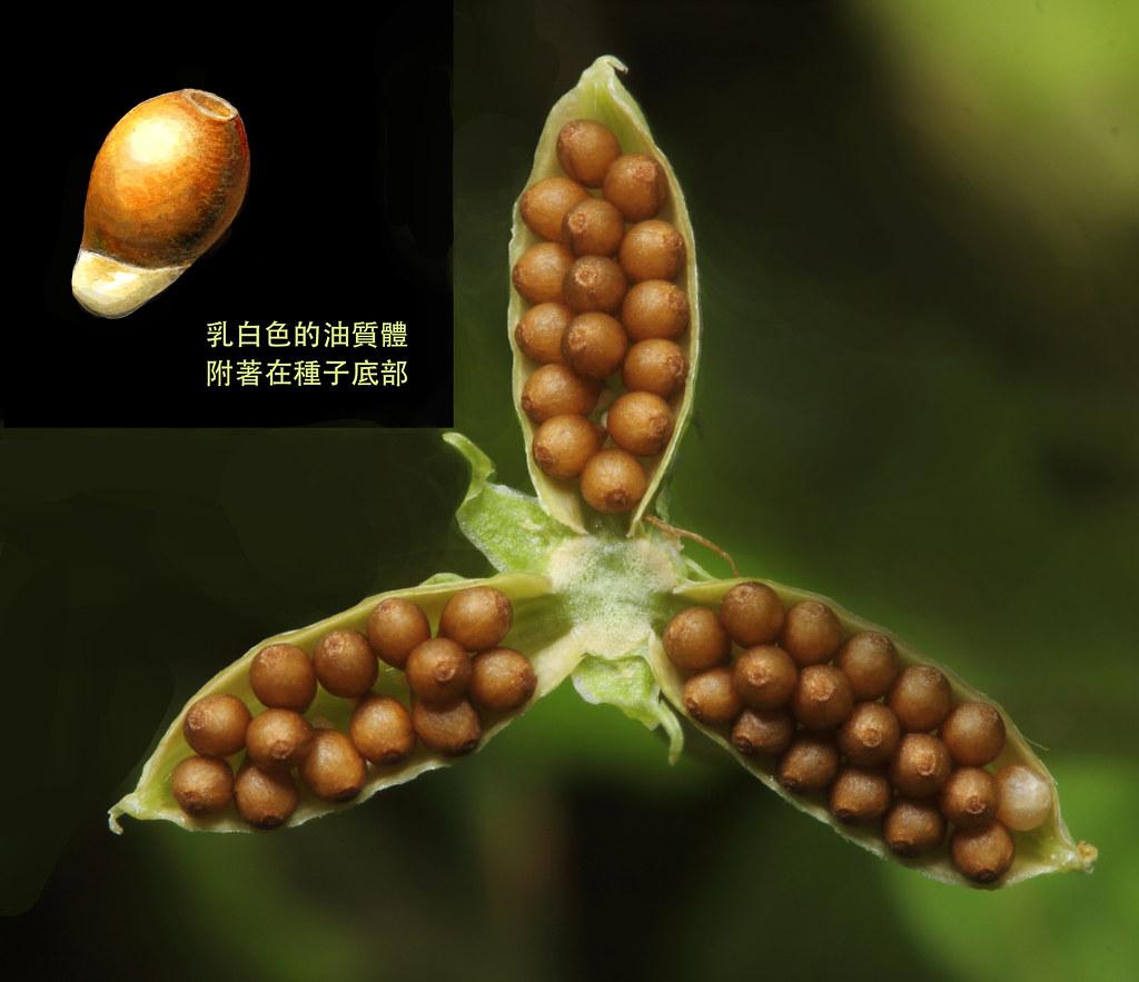 堇菜的果實成熟後,會裂成三瓣,隨後每個果瓣藉由彈力將種子釋出。接著種子底部的油質體會吸引螞蟻前來進一步地搬運。攝影:黃偉傑/後製:黃瀚嶢。