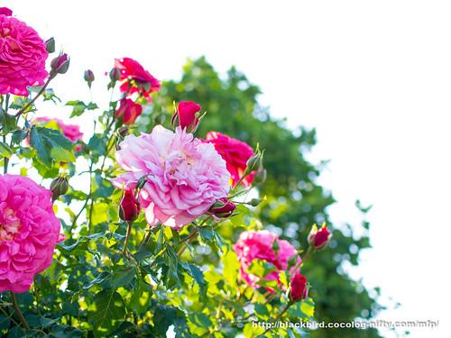 Rose 20170522 #05