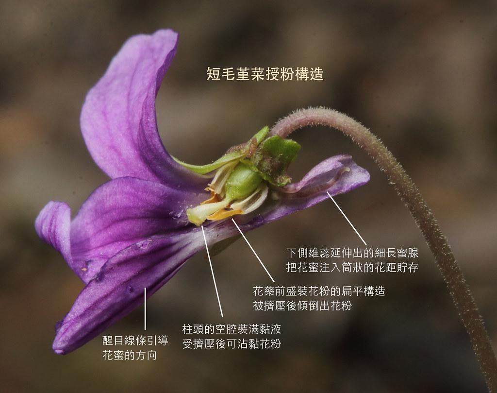 短毛堇菜的開放花(chasmogamous flower)剖面圖,擁有精密的授粉設計。 攝影:黃偉傑/後製:黃瀚嶢。