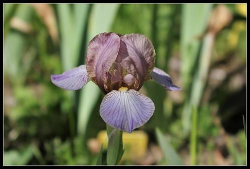 Iris 'Bangles' - Lynda Miller 1993  34809146706_531b23b351