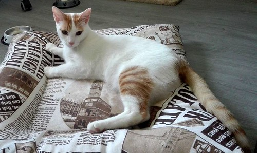 Gary, gatito blanco y naranja cruce Van Turco esterilizado muy activo nacido en Julio´16, en adopción. Valencia. ADOPTADO. 34843413691_7b2d92c0fb