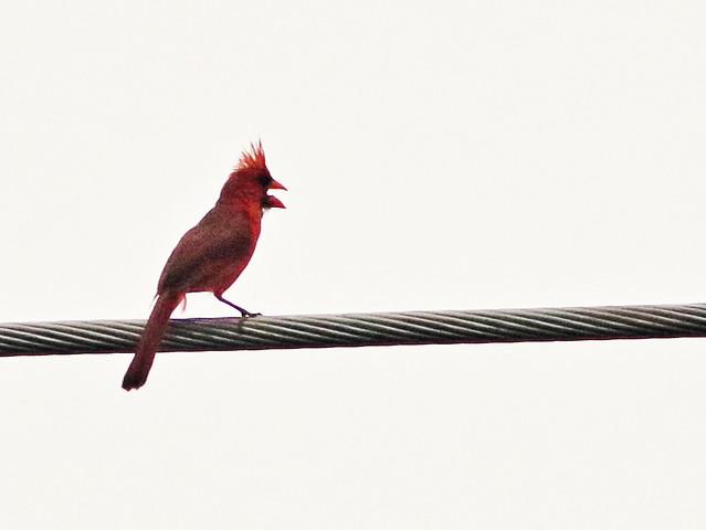 Northern Cardinal 20170605