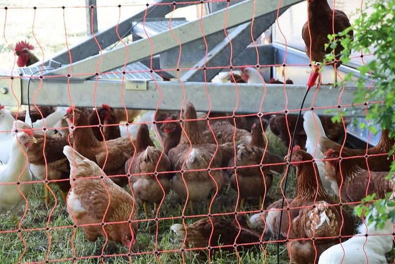 Chickens 28.05 (3)