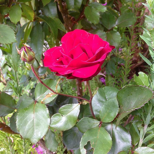 One single rose in the front yard.