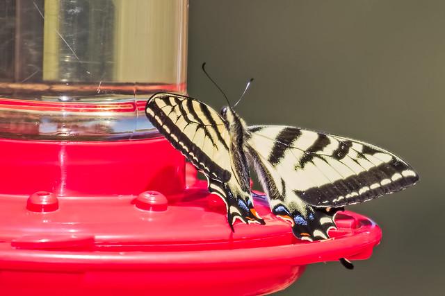 Butterfly-1-7D2-061017