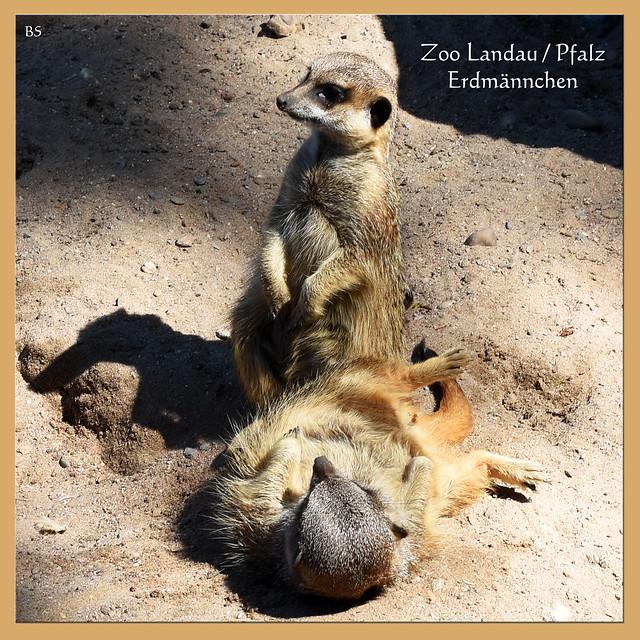 Tierfotografie Mai 2017: Erdmännchen (Suricata surivatta) im Zoo Landau / Pfalz ... Foto: Brigitte Stolle, Mannheim