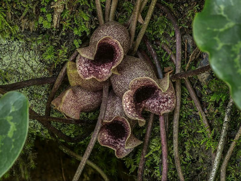 Large-flower Heartleaf