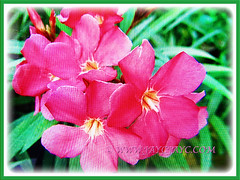 Lovely rose-pink flowers of Nerium oleander (Rosebay, Nerium, Oleander), 24 May 2017