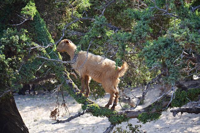 Goat in a tree, Crete