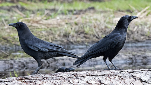 Skidaway Island: Three Crows