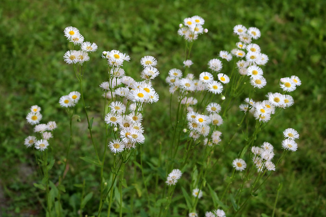 dozens of small white flowers with yellow centers, green grass in the background
