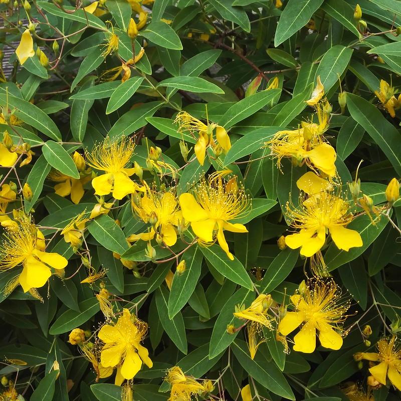 6月の黄色い花