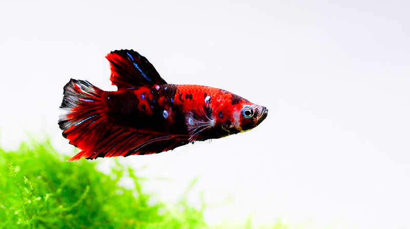 Show off your betta fish page 3 the planted tank forum for How much are betta fish