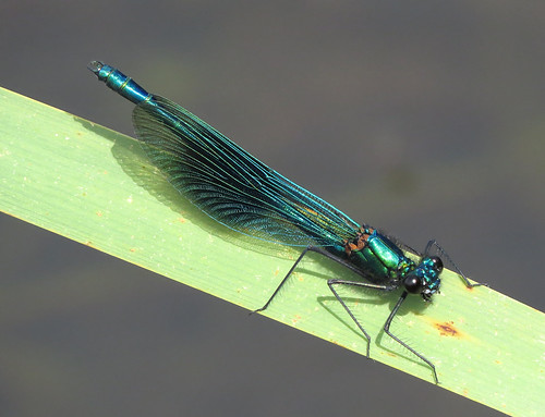 Banded Demoiselle Calopteryx splendens Tophill Low NR, East Yorkshire June 2017