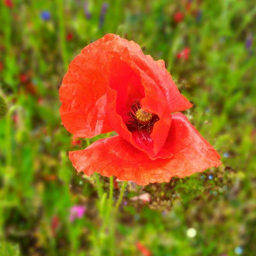 Flowers Bougar3oun Pringtemps Fleur Rouge Red Beaut Flickr