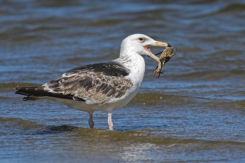 Mecox: Great Black-backed Gull with Crab (brunch)