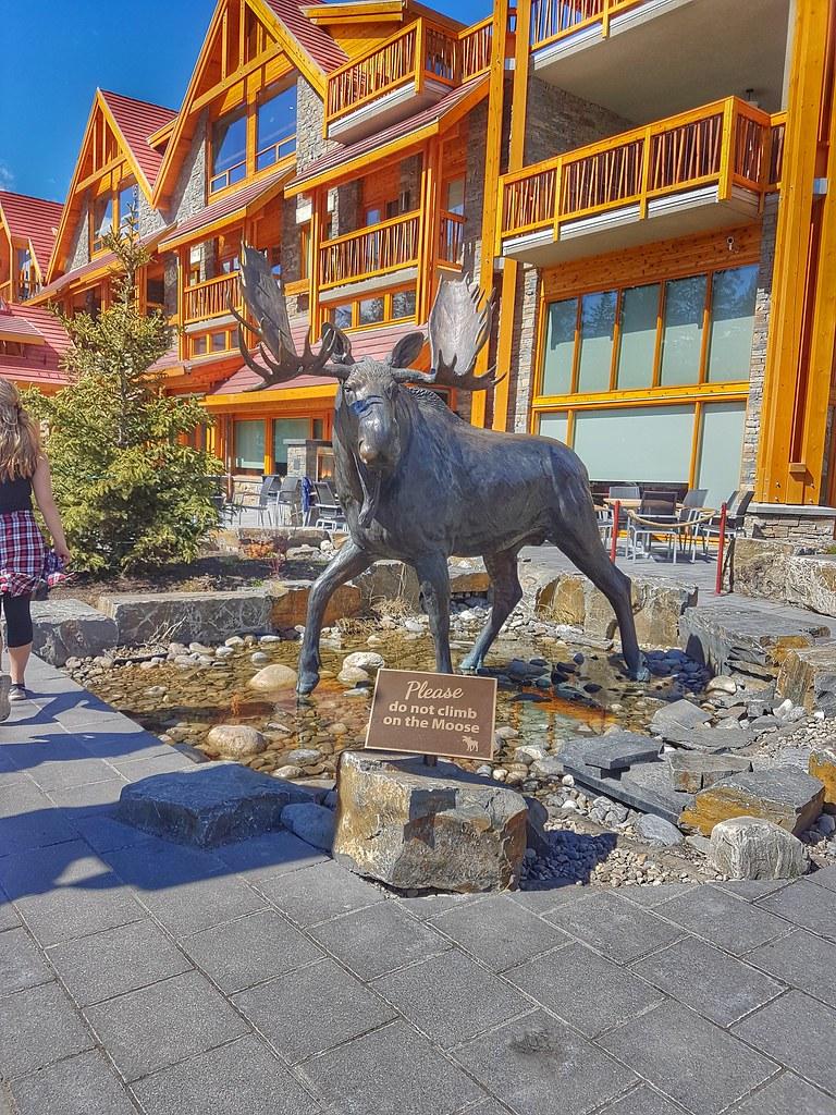 Banff Moose