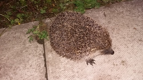hedgehog June 17