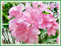 Beautiful pink flowers of Nerium oleander (Rosebay, Nerium, Oleander), 26 June 2011