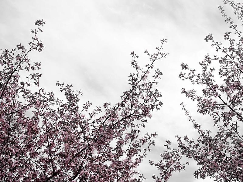 P5206936.jpgCherryTreesCherryBlossomHelsinkiSky,P5206932.jpgLightPinkCherryTreesHelsinkiCherryBlossom, cherry blossom, cherry tree bloom, kirsikkapuut, kirsikkapuisto, suomi, finland, helsinki, roihuvuori, kevät, toukokuu, may, spring, photography, valokuvaus, photos, harmaa, gray, light pink, vaaleanpunainen, olympus, camera, kamera, cherry park, flowers, kukat, maisema, view, kirsikankukat, cherry flowers, kirsikkapuut,