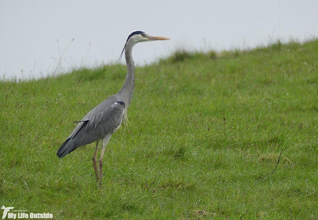 P1070743 -Grey Heron, Llangollen Canal