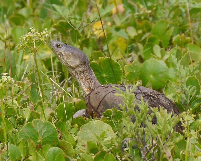 Yellow Mud Turtle (Kinosternon flavescens) - 1