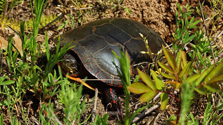 Painted turtle (Chrysemys picta) laying eggs | by phl_with_a_camera1