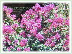 Mesmerizing pinkish flowers of Lagerstroemia (Crape Myrtle, Crepe Myrtle/Flower, Japanese/Indian Crape Myrtle), 1 June 2017