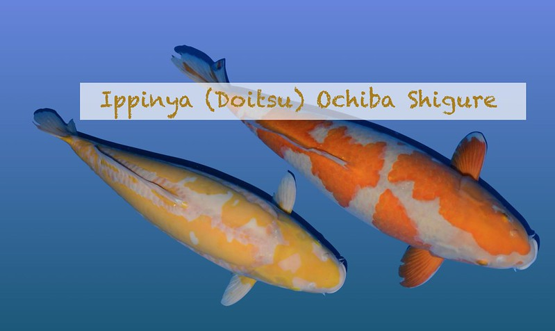 Ippinya (Doitsu) Ochiba Shigure