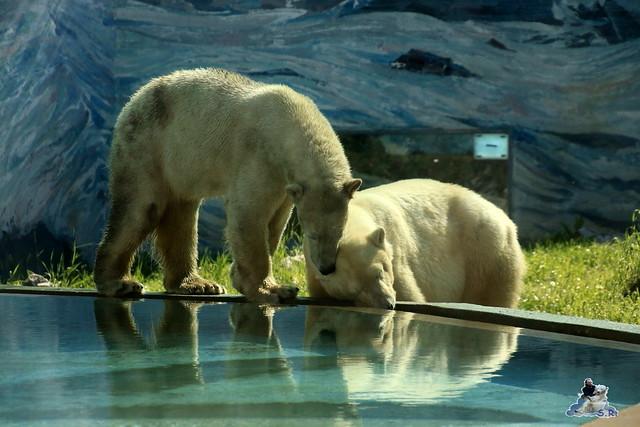 Eisbär Fiete im Zoo Sosto 29.05.2017 021