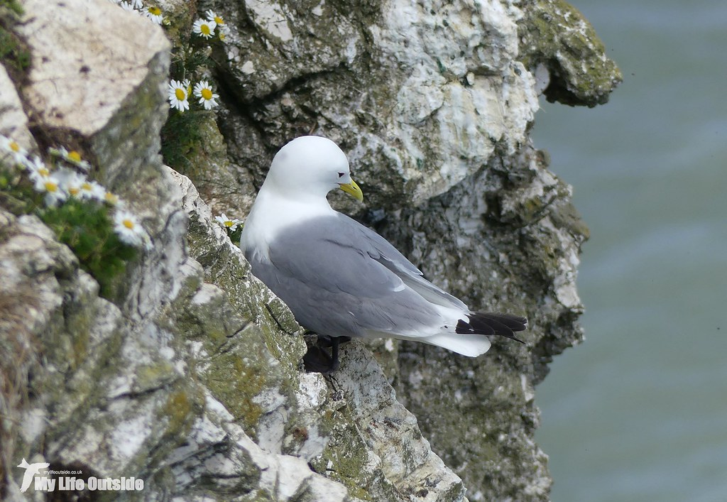 P1080313 - Kittiwake, Bempton Cliffs
