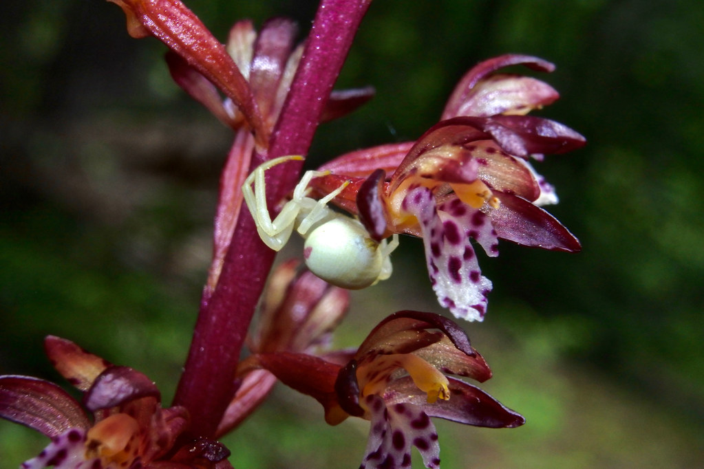 Spotted Coralroot and yellow crab spider