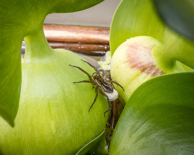 Fishing spider with egg sac