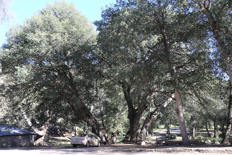 Our car and huge oak trees at the Los Coyotes Reservation Campground