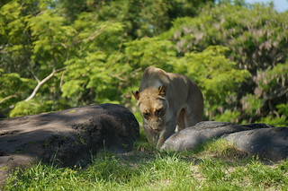 Kilimanjaro Safaris: A lioness | by Disney, Indiana