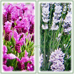 Hybrids of Lavandula (Lavender) with flowers in vibrant pink and white, 29 May 2017