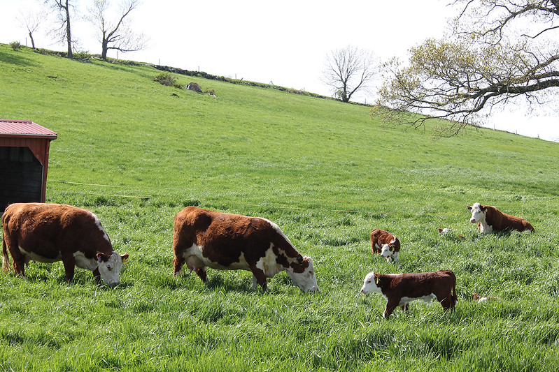 Calves and cows